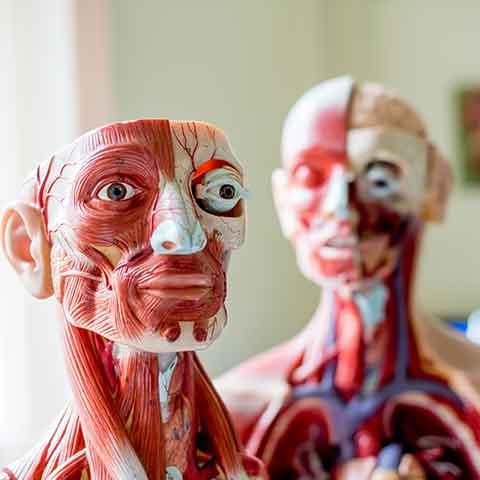 Anatomy Models AECC