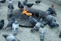 Pigeon battle