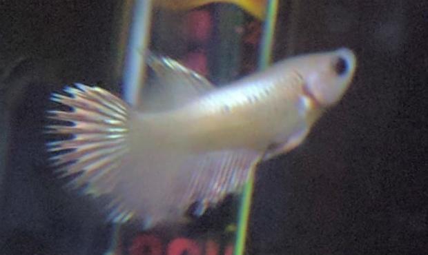 Sona, the fish